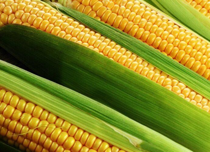 Особенности приобретения посевного материала кукурузы